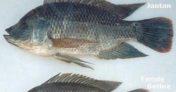 Ini Dia Perbedaan Ikan Nila Jantan Betina Sumber Perbedaan Antara Jenis Dan Artinya