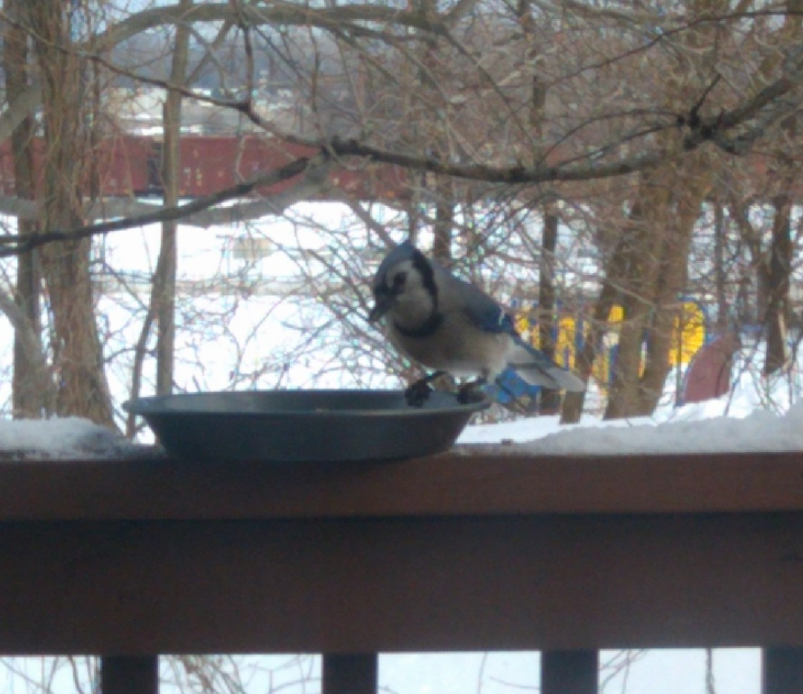 Blue Jay No Camouflage