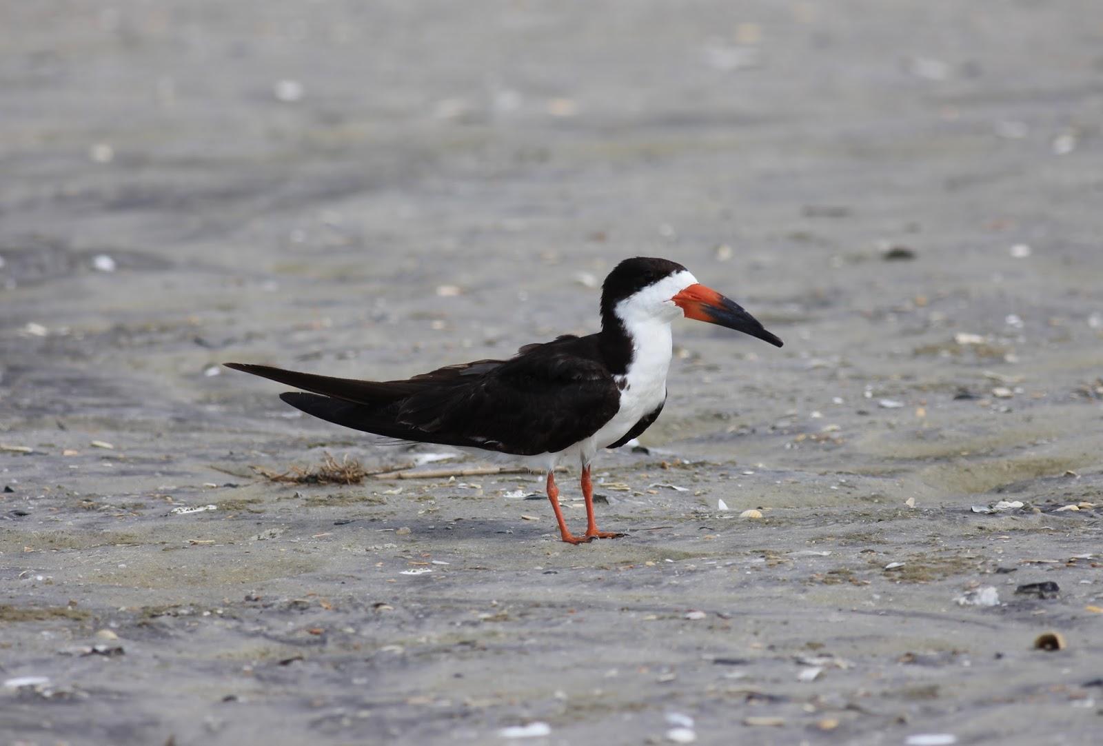 North Carolina Photographic Big Year 2016: Birding is Hard