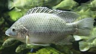 Kakap putih memang tak semahal harga ikan kakap merah Kabar Terbaru- BUDIDAYA KAKAP PUTIH UNTUK PEMULA