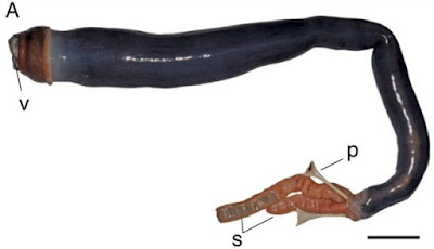 Live, long and black giant shipworm found in Philippines