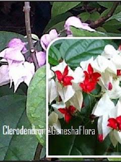 Nona Makan Sirih (Clerodendrum thomsoniae)