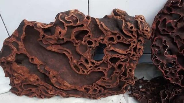 Sarang Semut, Oleh-oleh dari Bumi Papua yang Menyehatkan
