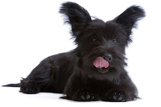 Everything about your Skye Terrier
