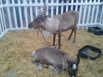 Two reindeer in pen