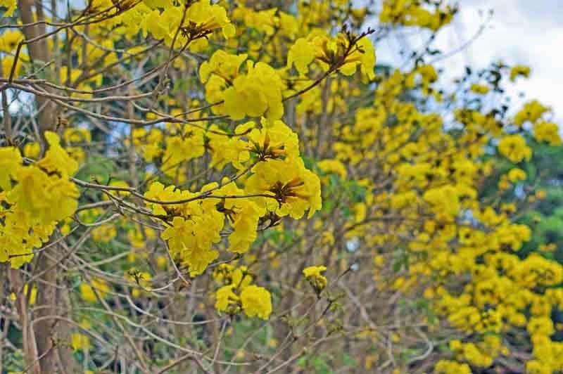trees, flowers,Golden Trumoets