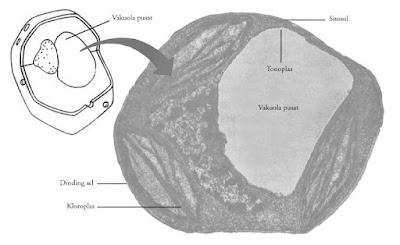 gambar vakuola