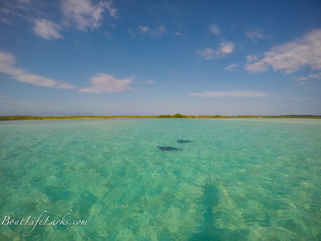 Eagle Rays in a mangrove creek, Conception Island, Bahamas