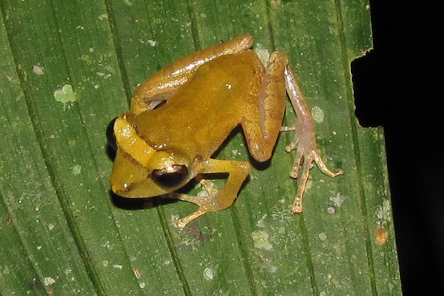 Climate change could be a greater threat to tropical frogs than deforestation
