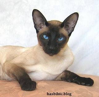 Mengenal Macam-Macam Jenis Kucing