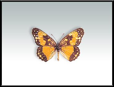 Mariposa montera naranja Chlosyne lacinia