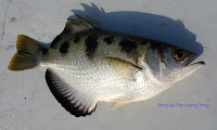 Spotted Archerfish