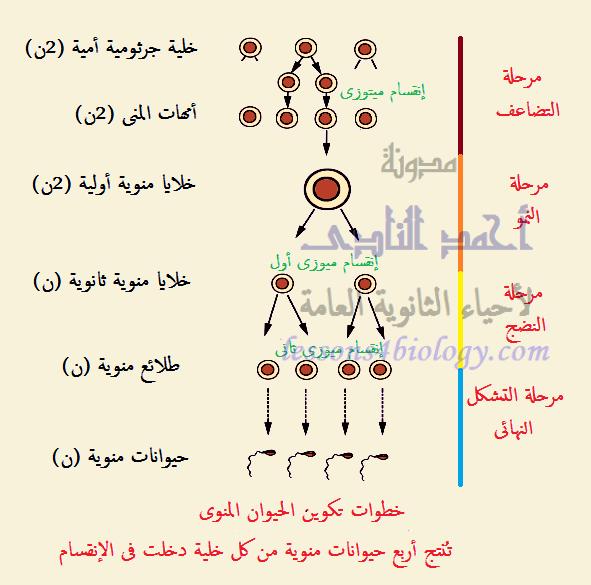 مراحل تكوين الحيوانات المنوية