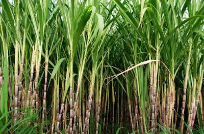 Agriculture: Bertani Tebu (Saccharum officinarum.L) Baik Dan Benar