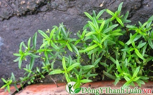 Bài thuốc chữa viêm mũi dị ứng từ cỏ the