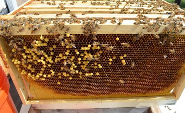 Αρρενοτόκο μελίσσι με κηφηνόγονο: Πως το αντιμετωπίζουν οι παλιοί μελισσοκόμοι