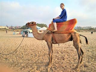 wielbłąd, camel