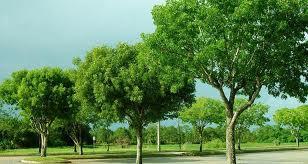 manfaat pohon mahoni untuk mebel