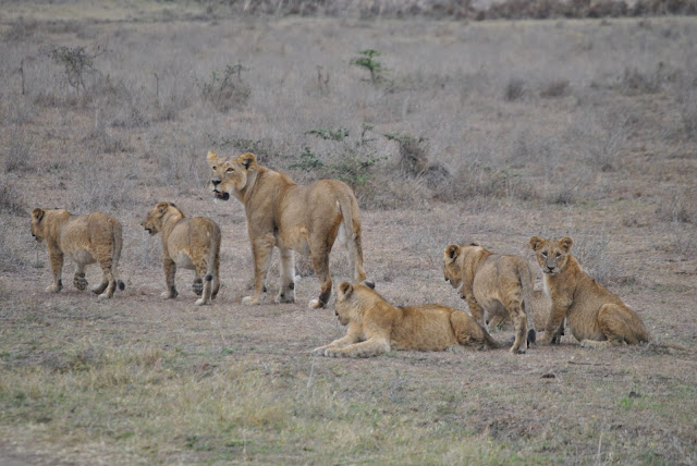 Lion cubs in Nairobi National Park