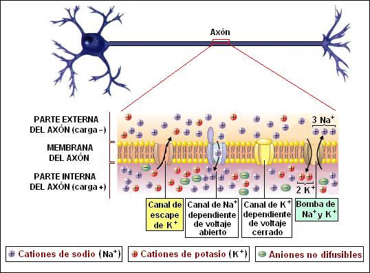 Impulso del conduccion nervioso concepto saltatoria