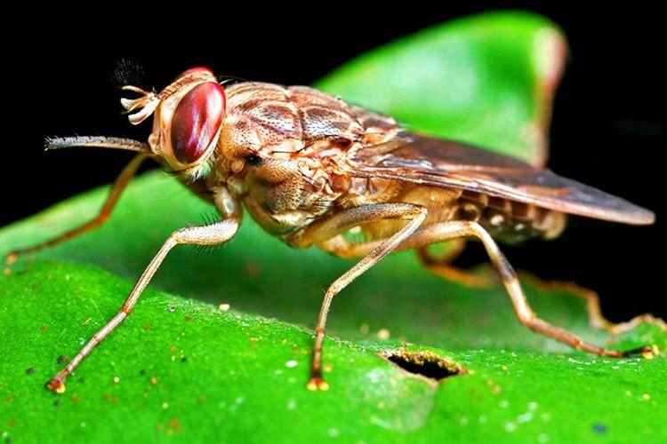 Çeçe Sineği normal sineklerle benzer ebatlarda olsa da çoğu zaman tek bir ısırığı dahi öldürücü olmaktadır.