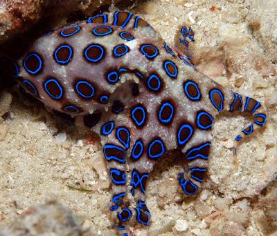 10 อันดับสัตว์, จัดอันดับ, ชีวิตสัตว์, สัตว์มีพิษ, สิบอันดับสัตว์, หมึกบลูริงก์ (Blue Ring Octopus)