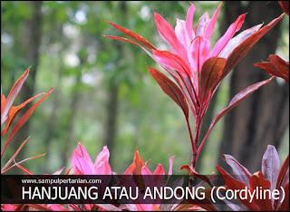 2 Cara menanam tanaman Hanjuang atau andong (Cordyline)