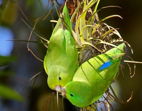 Periquito Tuim (Forpus xanthopterygius), uma ave pertencente à família dos psitacídeos