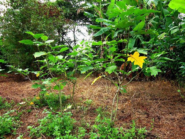 Cà Dại Hoa Trắng - Solanum torvum - Nguyên liệu làm thuốc Đắp vết thương Rắn Rết cắn