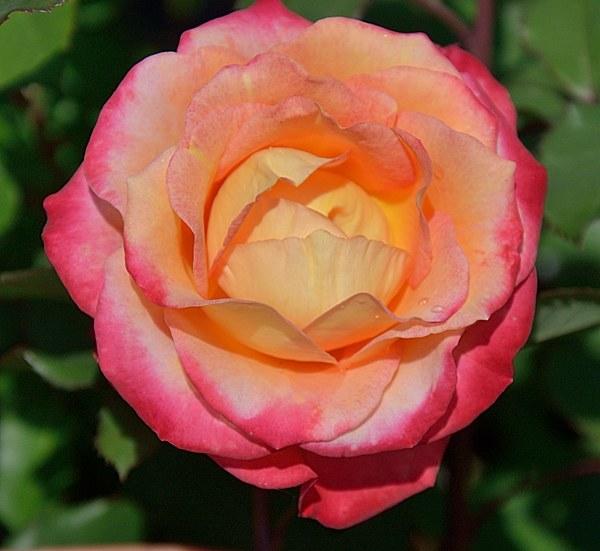 Marseille en Fleurs сорт розы фото саженцы купить Минск
