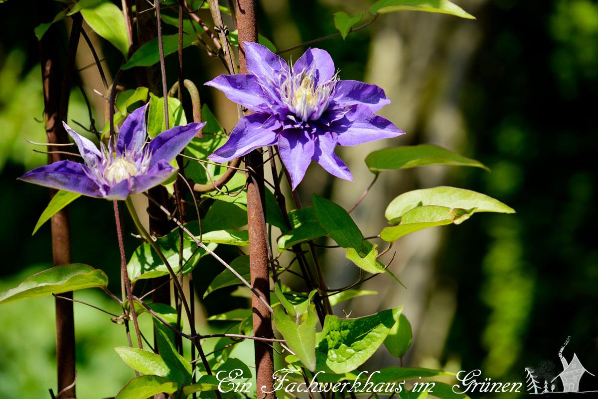 Clemats, Waldrebe, Multi Blue, Gartenblog