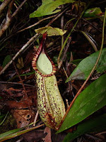Cara Budidaya Tanaman Hias Kantong Semar Cara Budidaya Tanaman Hias Kantong Semar(Nepenthes)
