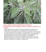 La plante sauge et ses bienfaits pour la santé