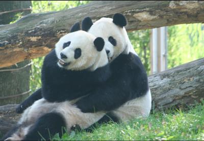 Image result for panda betina mengawan