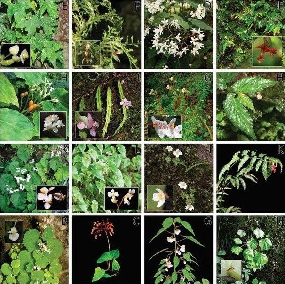 Species New To Science Botany 2018 Dividing And Conquering The Fastest Growing Genus Towards A Natural Sectional Classification Of The Mega Diverse Genus Begonia Begoniaceae