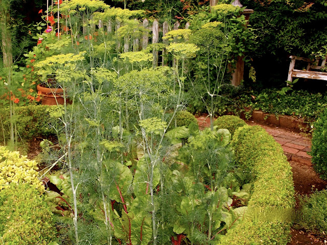 Tall dill stalks grow with swiss chard in a quadrant of the potager.