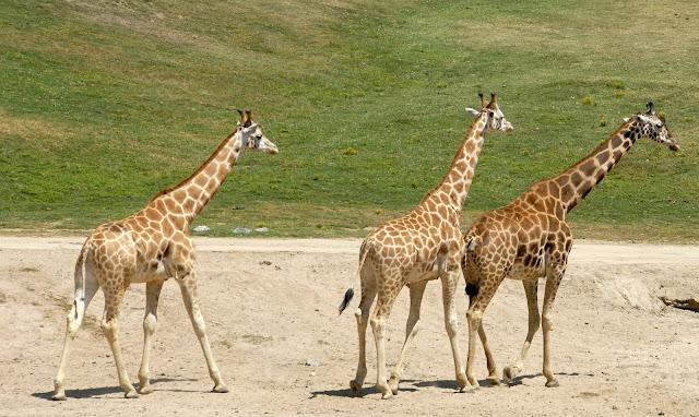 three tall giraffes: LadyD