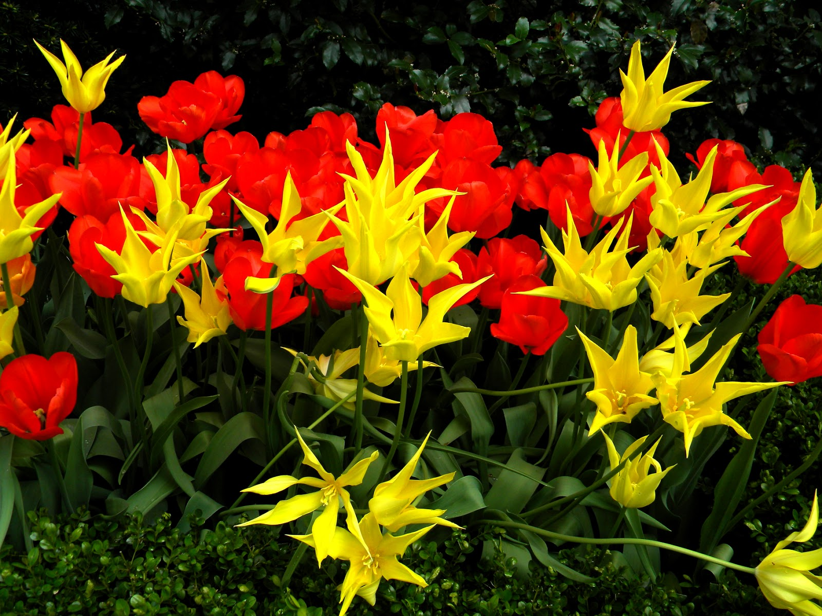 Orange Yellow and Red Tulips
