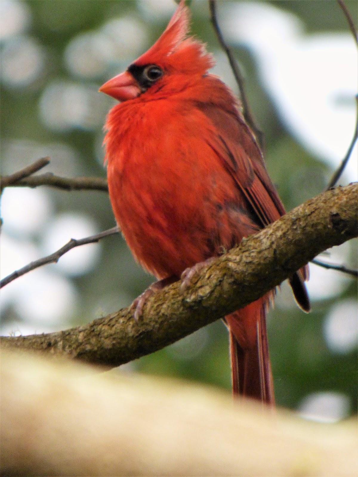 geotripper's california birds: a northern cardinalin hawai'i? the