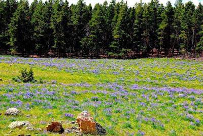 Spring Wildflowers Yellowstone National Park