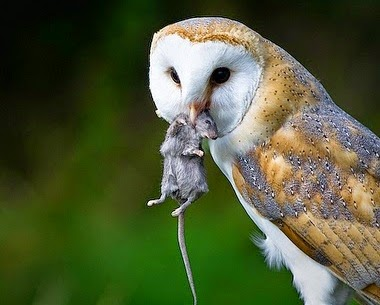 BARRY the BIRDER: Cyprus recruits Barn Owls to protect ...