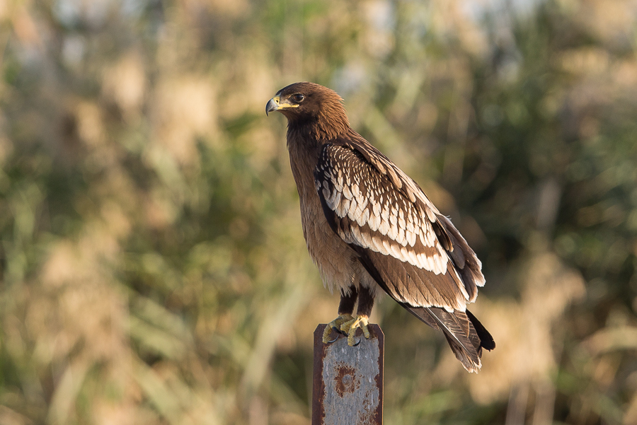 Highest site count of Greater Spotted Eagles – Sabkhat Al Fasl