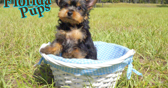 How Long Do Yorkies Live From The Dog S Paw A Bloggery Of Dogs