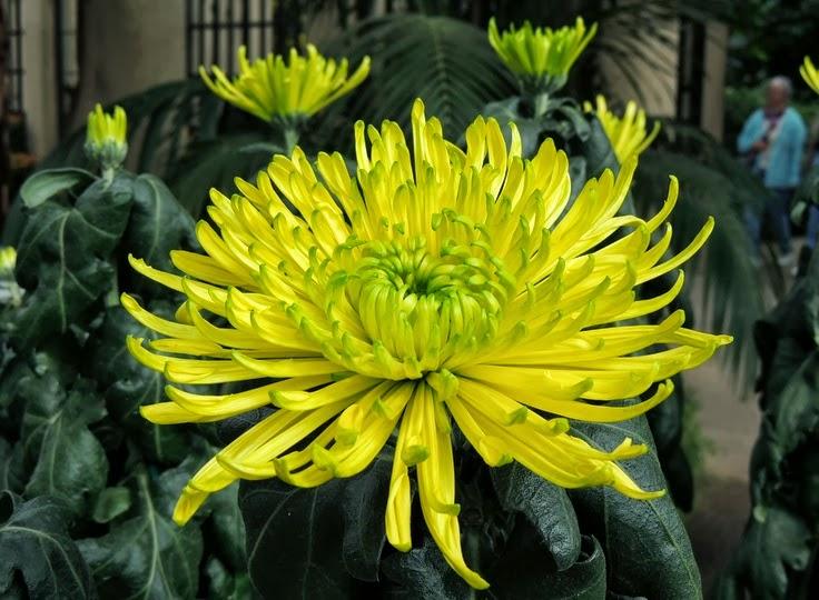 chrysanthemum x morifolium - photo #34