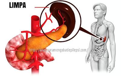 Ketahui Fungsi Penting Dari Organ Limpa Dalam Tubuh