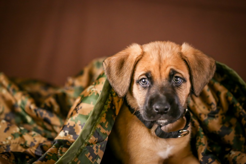 Boxer shepherd puppy under a camouflage blanket and a brown background.