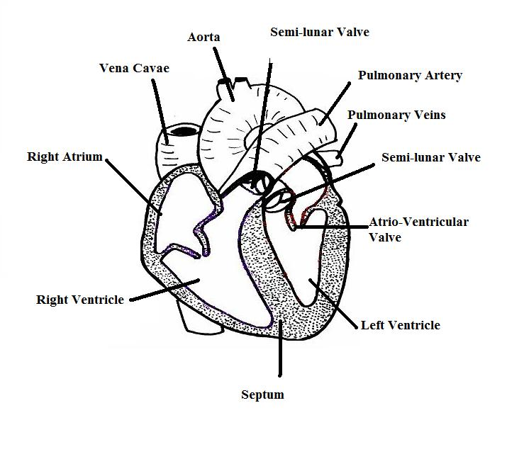 simple heart diagram adam blood away from the