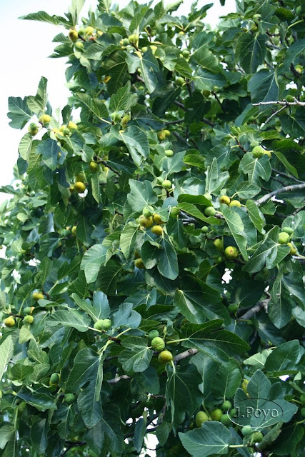 Frutales del camino del agua, Mogarraz