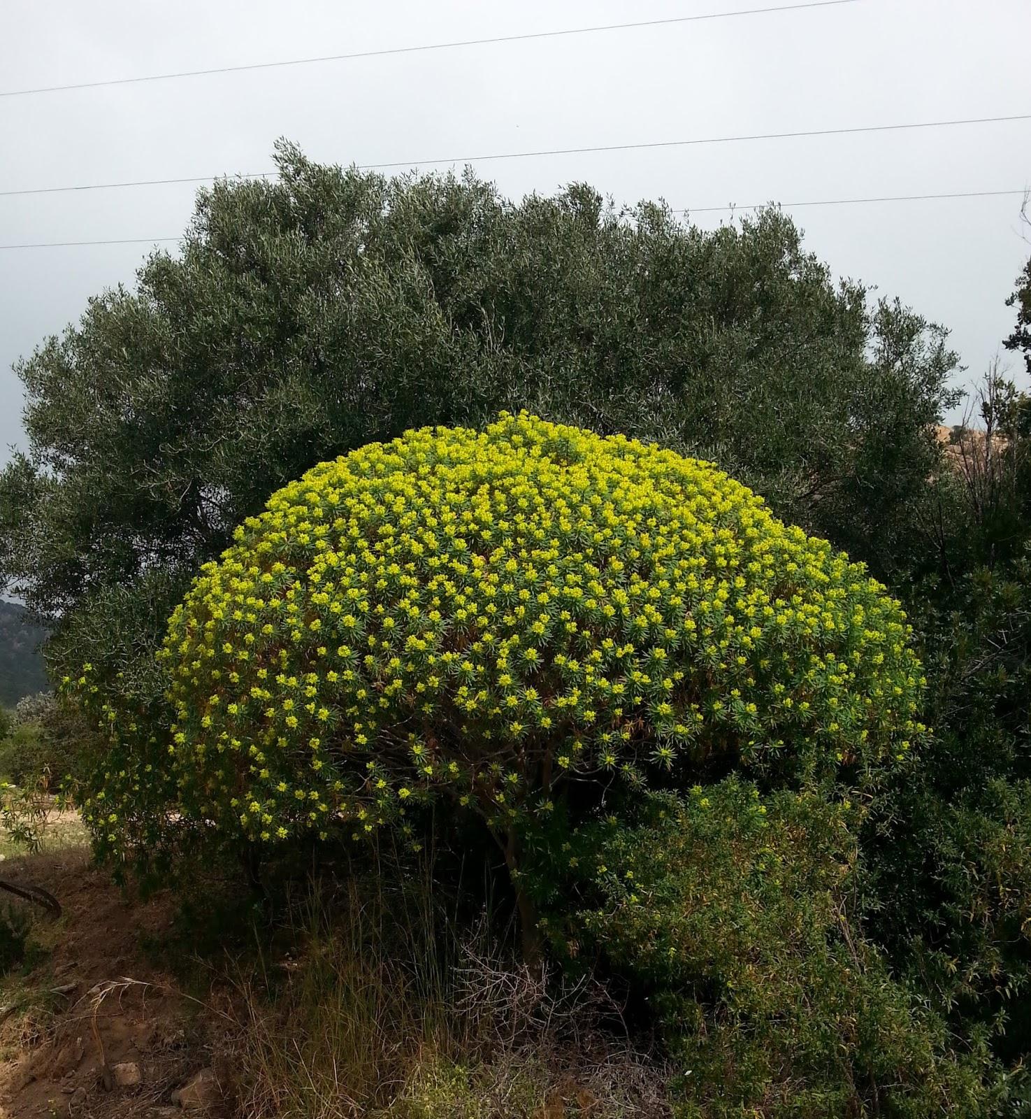 Fiori Gialli Comuni.Cagliari In Verde La Nostra Macchia In Fiore