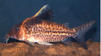 Jenis Ikan Corydoras robustus